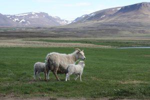 Wool, Iceland